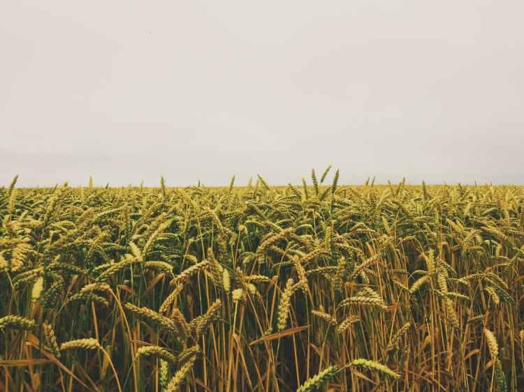 horizon fields cornfield etretat